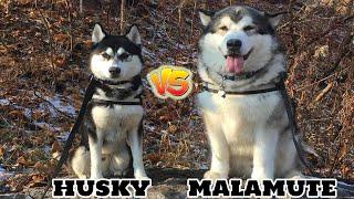 Siberian Husky VS Alaskan Malamute-Comparison