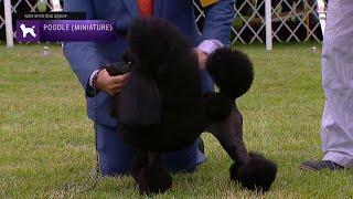 Poodles (Miniature) | Breed Judging 2021