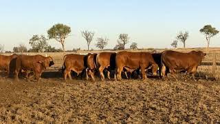 Mostyndale Bulls 2020