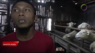 Download PERMINTAAN DOMBA BATUR MENGALAMI KENAIKAN Mp3 and Videos