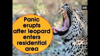 Panic erupts after leopard enters residential area - Madhya Pradesh News