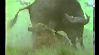 Lion vs. Bull