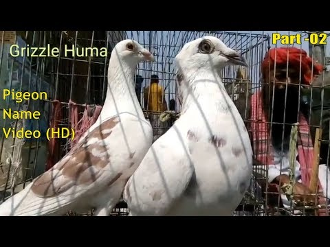 10 pigeon videos with pigeon bird name | racer kobutor palon | fancy pigeon