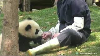 Funny animals  - I want you to get rid of it  -  Baby panda hugs  - Reverse video