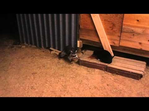 Raccoon Steals Cat Food With Commentary