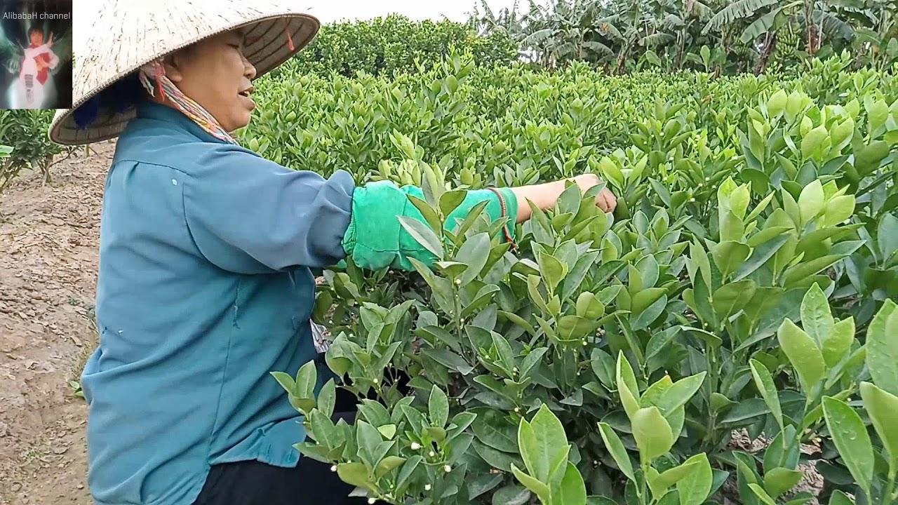Cách người nông dân làm cây quất cảnh tết lớn nhanh như thổi | Cách chăm  sóc cây quất cảnh to, đẹp