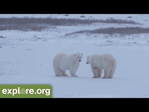 Polar Bear Cams are Back!