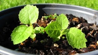 Growing Kiwifruit From Seed - Transplanting