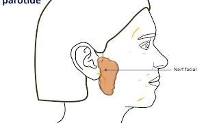Ce que vous devez savoir sur la parotidectomie