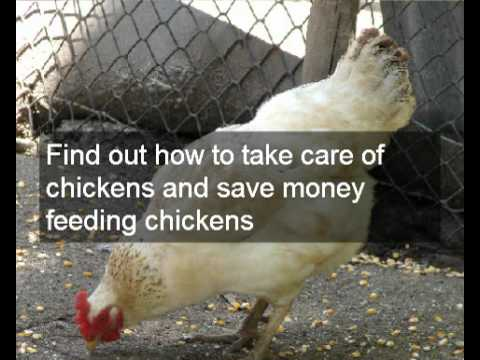 getting the most from your chickens and eggs how to save money farming organic chickens and eggs