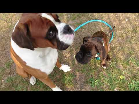 Training My Boxer Puppy (11w) To Walk With A Leash!