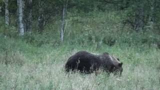 Медведь на овсах