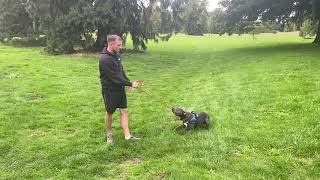 Naughty Staffy | Ace | Dog Training in London