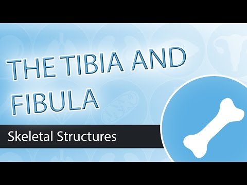 Skeletal Structures- Tibia and Fibula