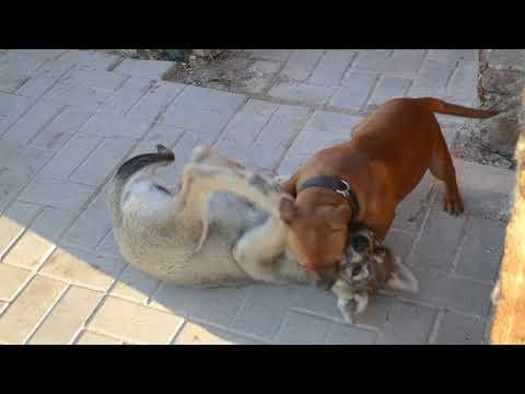 Wolf puppy x Staffordshire bull terrier puppy