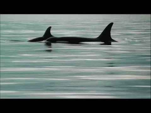 Southern Resident Killer Whales: J Pod's Family Cuddle Time (HD with realtime orca calls)