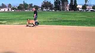 Dog Training Basic Obedience Man Of Dogs