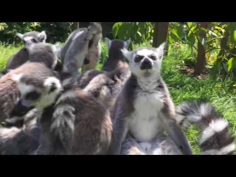 Funny lemurs (the best compilations)