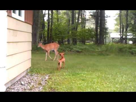 Vizsla pup taunts mother deer