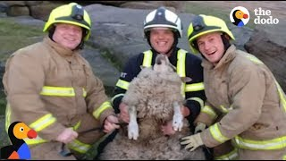 Sheep Rescued From Very Tight Spot | The Dodo thumbnail