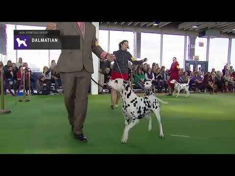 Dalmatians | Breed Judging 2019