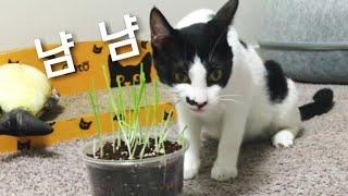 [ENG] 고양이를 위해 귀리 캣그라스를 키웠어요 냠냠…
