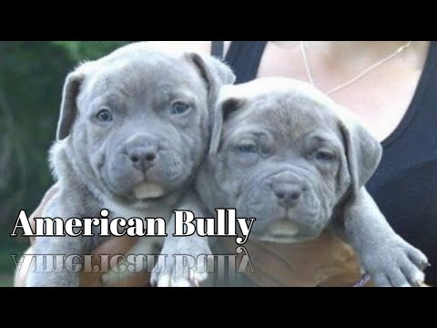 American Bully Puppies For Sale Am Bully Puppy For Sale Delhi