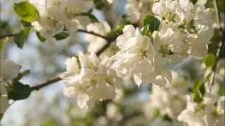 Мой фильм  СЕРГЕЙ ЗАХАРОВ   Яблони в цвету