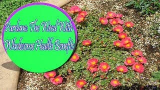 Purslane: The Weed With Wholesome Health Benefits | Useful info