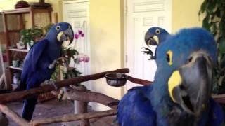 Hyacinth Macaws Eating Mango
