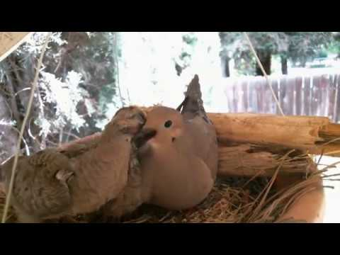 Mourning Dove Family - Part 2 (Hatching and raising young)