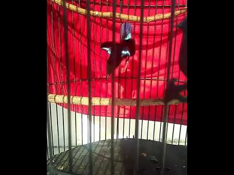 Kolibri  Belajar Isian Kenari