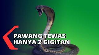 King Kobra Menewaskan Pawang Ular Dengan 2 Gigitan