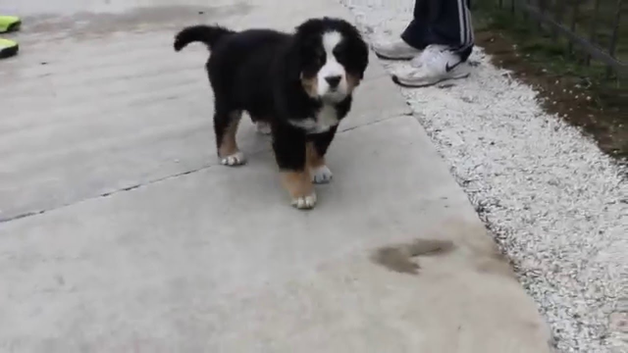 Bernese Mountain Dog Puppy 2 Months Old Youtube