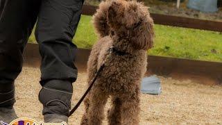 Charlie - Mini Labradoodle - 3 Week Residential Dog Training