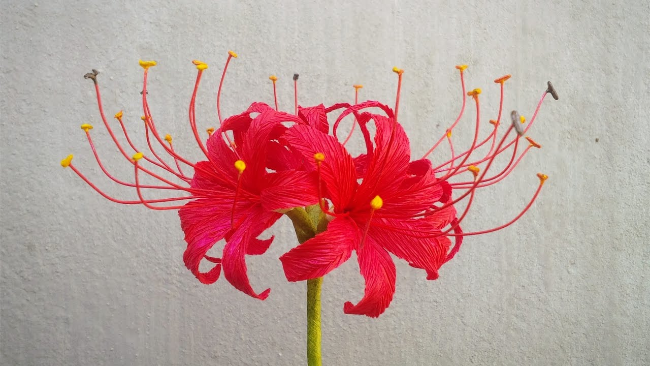 Abc tv how to make red spider lily paper flowers from crepe paper abctvcraft paperflower izmirmasajfo