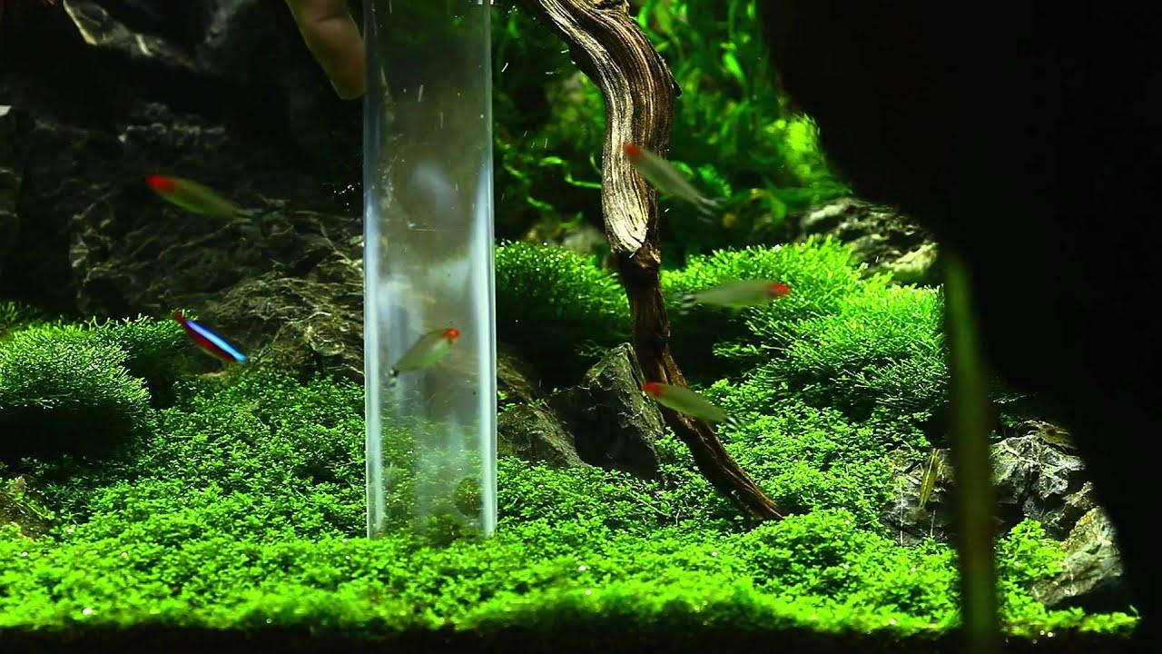Photos Of Plant Carpet In Aquarium Images amp Pictures Becuo