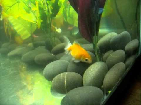 Pale pearlscale goldfish. - YouTube