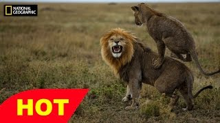 HD Lions Documentary and More   Hyenas, Leopards IN ACTION   NatGeo
