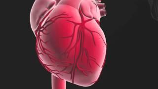 Rôle et fonctionnement du coeur