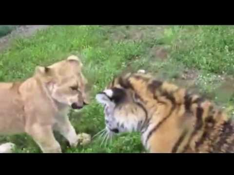 Cute Funny Baby Animal Fight Videos Viral 2016