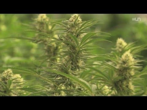 Focus - La légalisation du cannabis fait son chemin