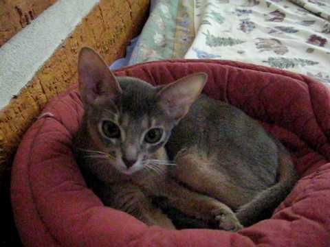 Blue abyssinian taking a bath