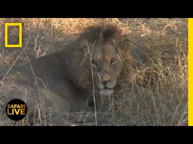 Safari Live - Day 360   National Geographic