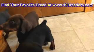 Doberman Pinscher, Puppies, For, Sale, In, Detroit, Michigan, Mi, Waverly, Holt, Inkster, Wyandotte,