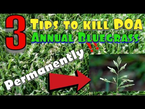 3 Steps To Kill POA, Annual Bluegrass Permanently! Plus Image Herbicide.