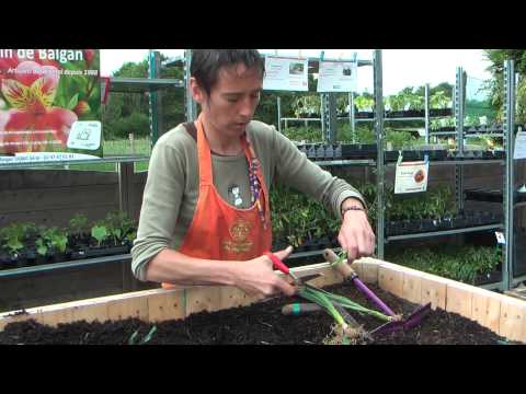 Reussir la plantation des oignons doovi - Comment planter des poireaux ...