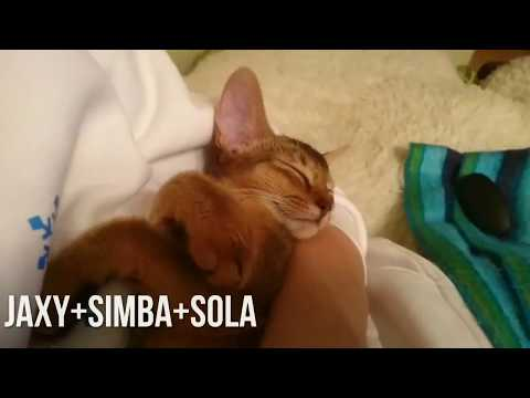 Sweet Christmas Holidays with Abyssinian Cats