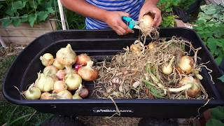 How To Grow Big Bulb Onions - Seed to Harvest