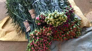 Trải nghiệm trồng hoa Cẩm Chướng tại Dalat